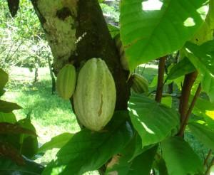 Cacao_mexico_2008-11-3